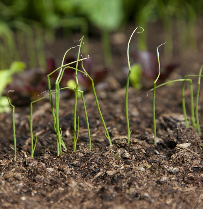 growing spring onions from seeds