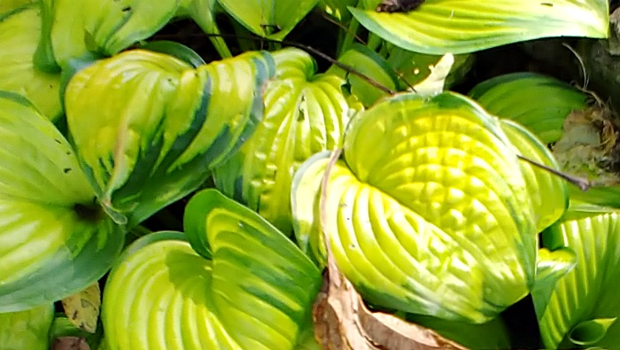stained glass hosta leaves