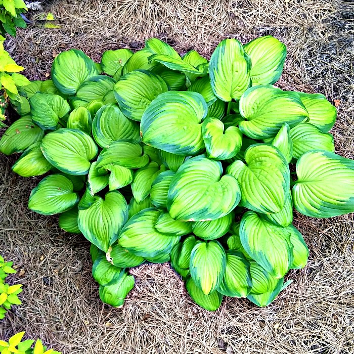 "Hosta ""stained glass""Variegated hosta that is sun tolerant."