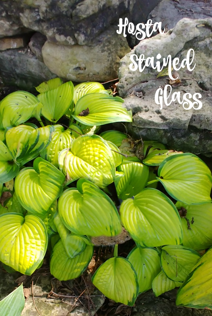 "Hosta plant - variety ""stained glass"""