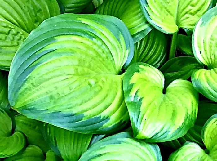 puffy variegated hosta leaves