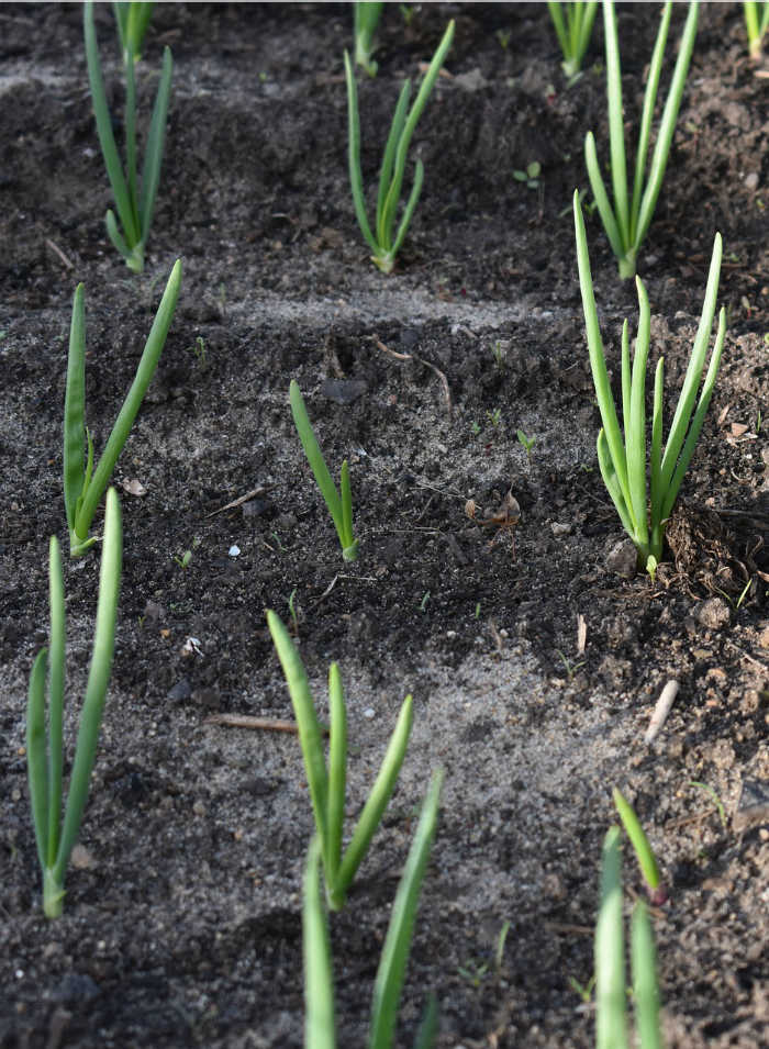 Onions planted in rows in the ground