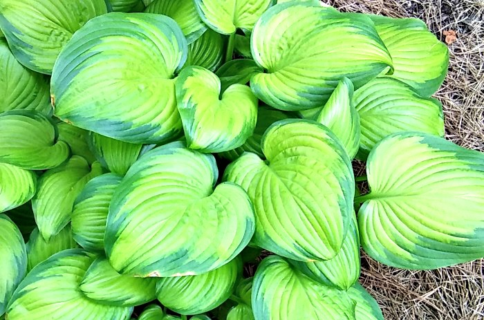 A sun tolerant Hosta plant that is dramatic and colorful