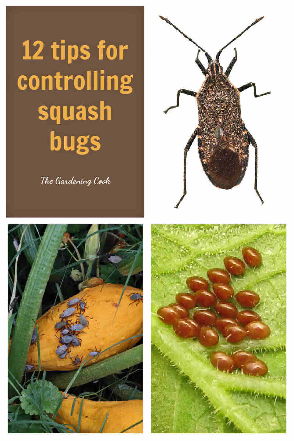 Squash bug, infestation and squash bug eggs with words reading 12 tips for controlling squash bugs.
