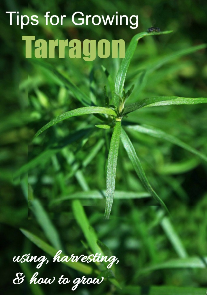 Tarragon plant tips for growing overlay