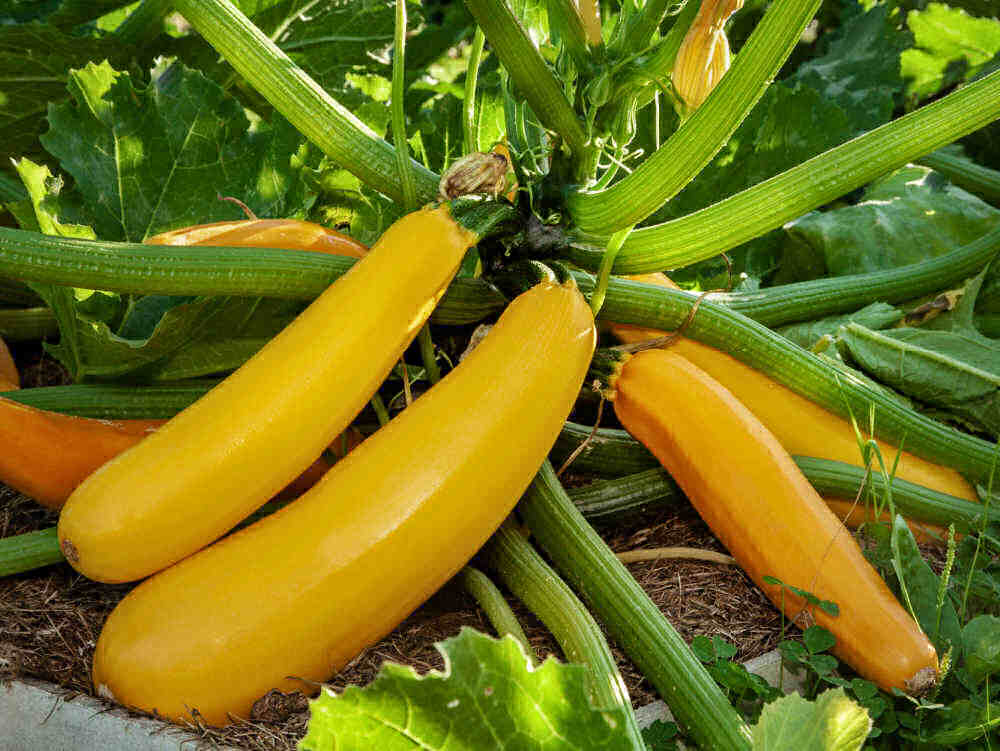 Healthy squash plants in a garden.
