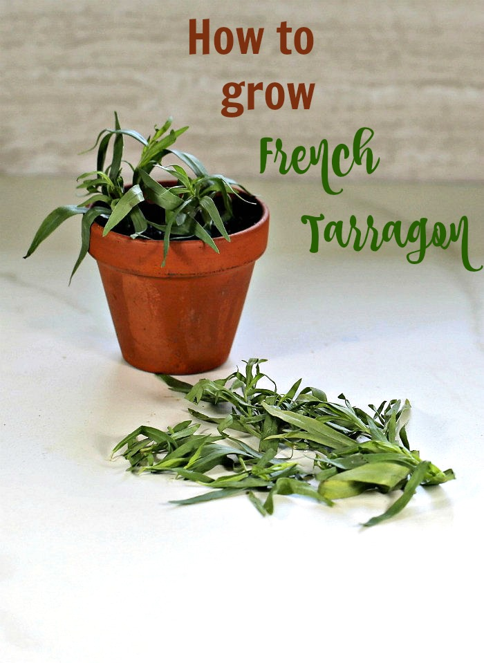 French tarragon in a pot and leaves of fresh tarragon