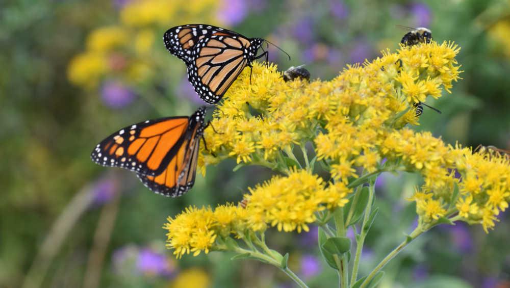 Monarch butterflies on yellow flowers.