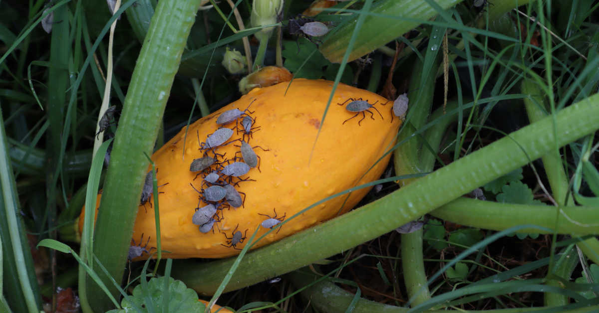 Yellow summer squash in a garden with squash bugs on it.
