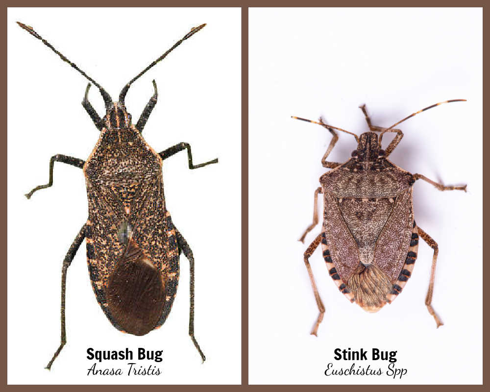 Stink bug and squash bug in a chart with botanical names.