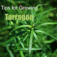 How to grow tarragon