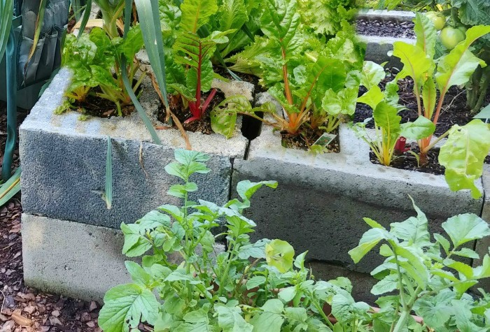 Swiss chard and lettuce in a easy raised garden bed
