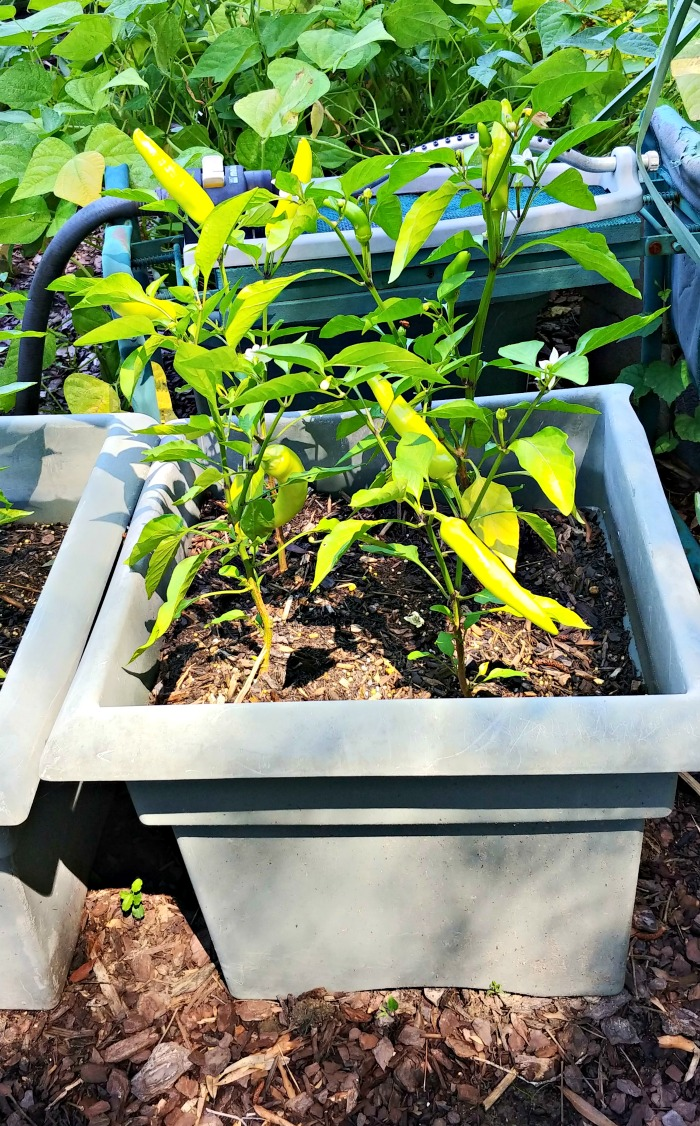 Banana peppers in a large planter