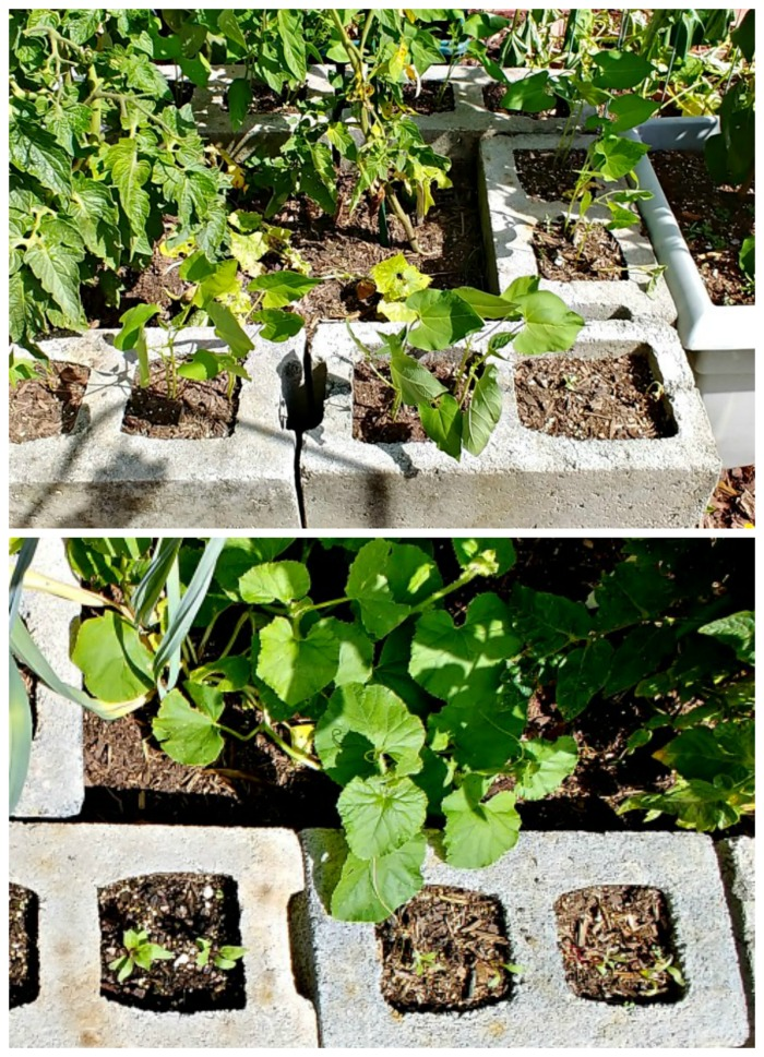 bush beans and beets in concrete blocks planter