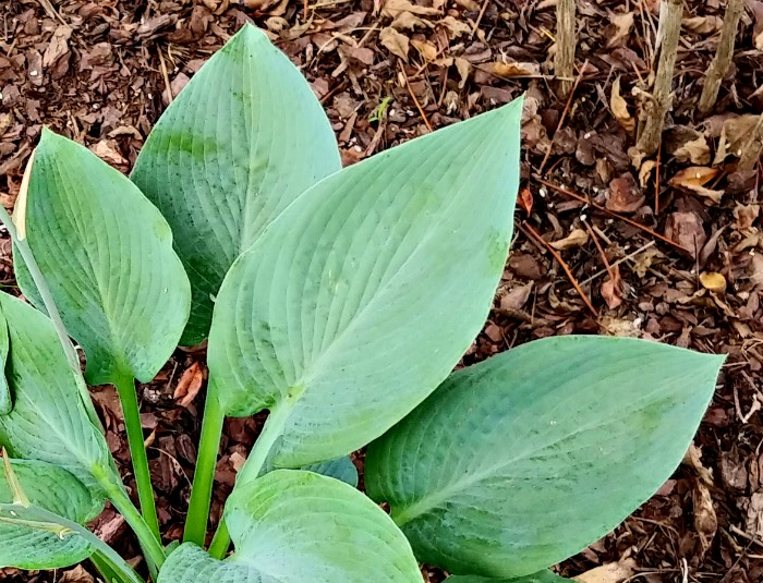 leaves of blue angel plantain lily
