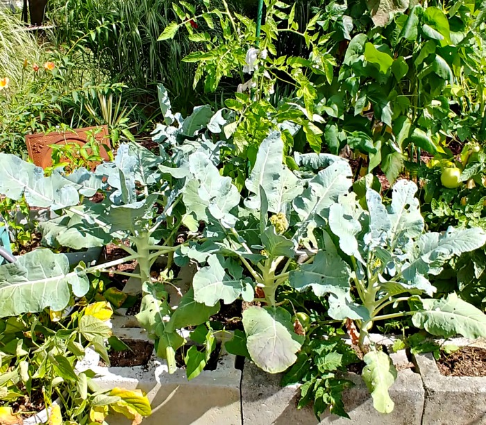 broccoli plants in cement block planter