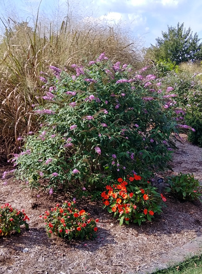 Butterfly bushes and impatiens plants