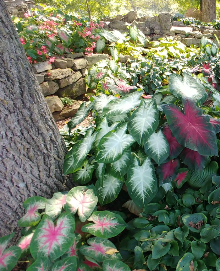 Caladiums of varying colors