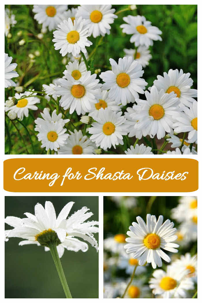 Shasta daisy pictures in a collage with words caring for shasta daisies