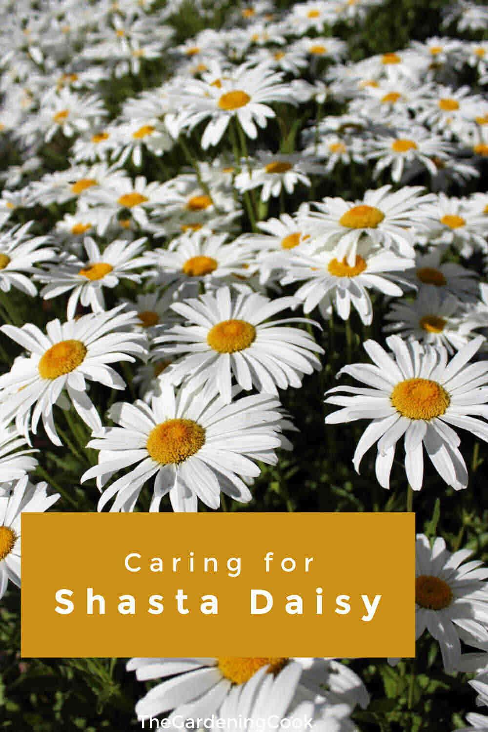 Shasta daisies in a field with text overlay reading caring for Shasta daisiy.