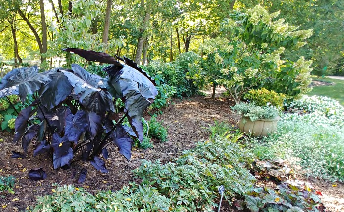 Huge tropical elephant ears plants in the White Garden at Springfield Botanical Gardens