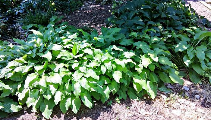 Hosta plants in dappled sun and part shade