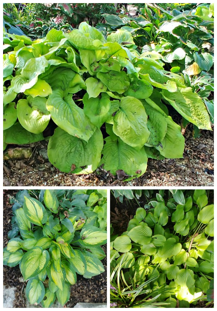 Hosta Gardens with many varieties
