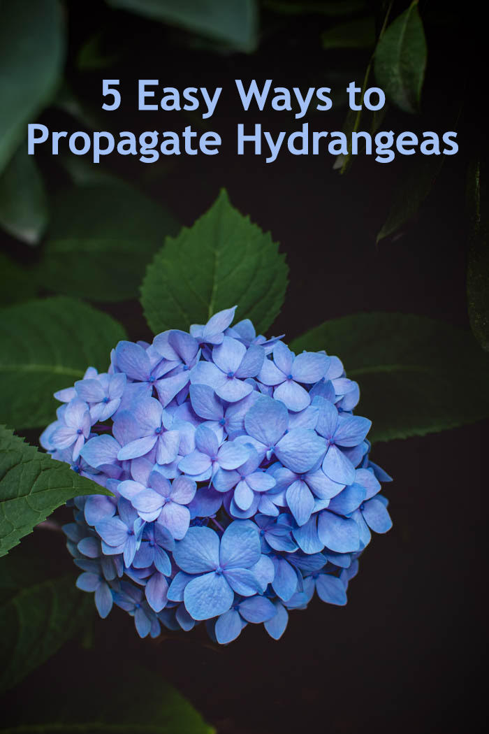 Hydrangea flower with the text 5 easy ways to propagate hydrangeas