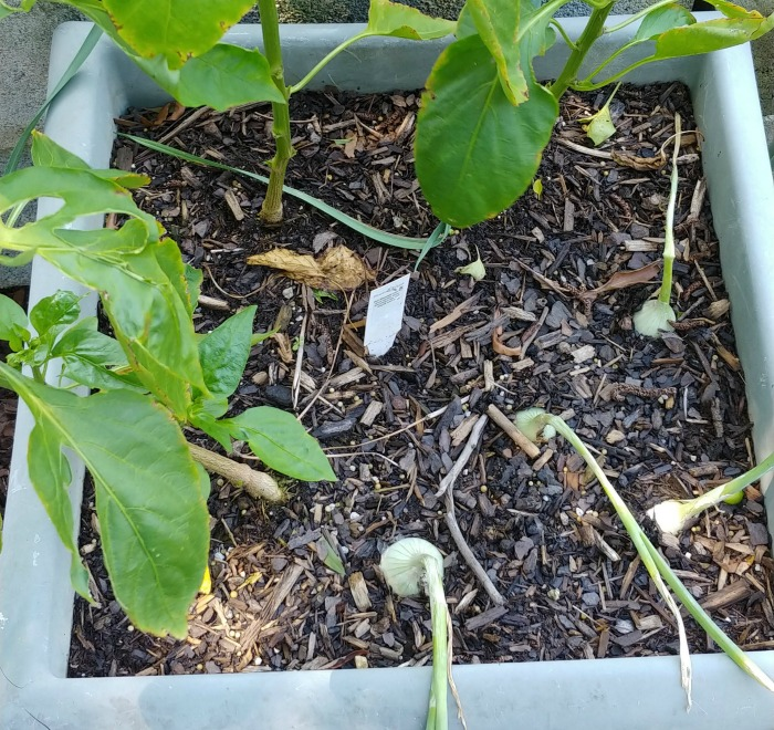 sweet peppers and onions make good companion plants