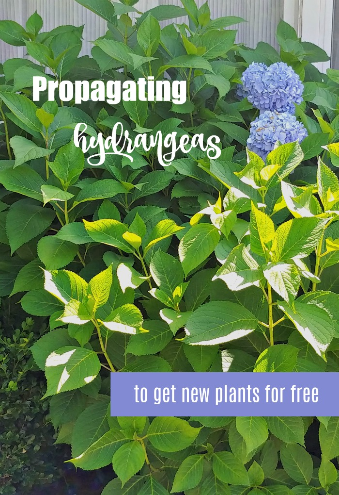 Propagating hydrangeas four ways to get new plants for free
