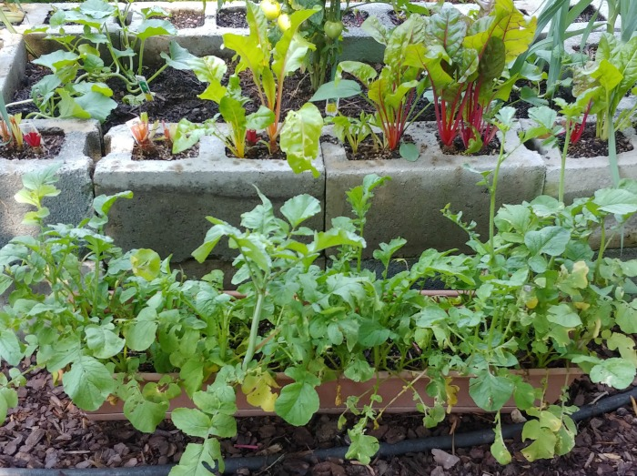 radishes in a long planter