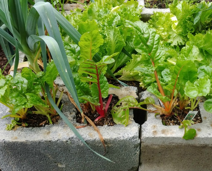 Swiss chard that has re-grown