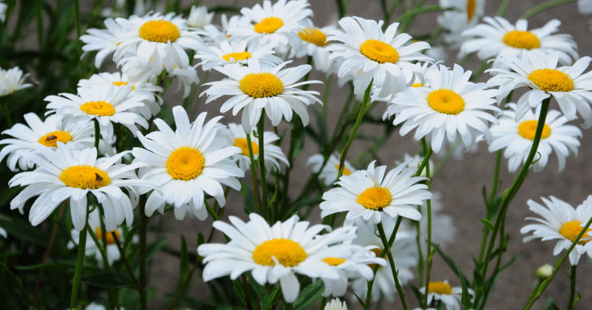 Becky shasta daisies in a field.
