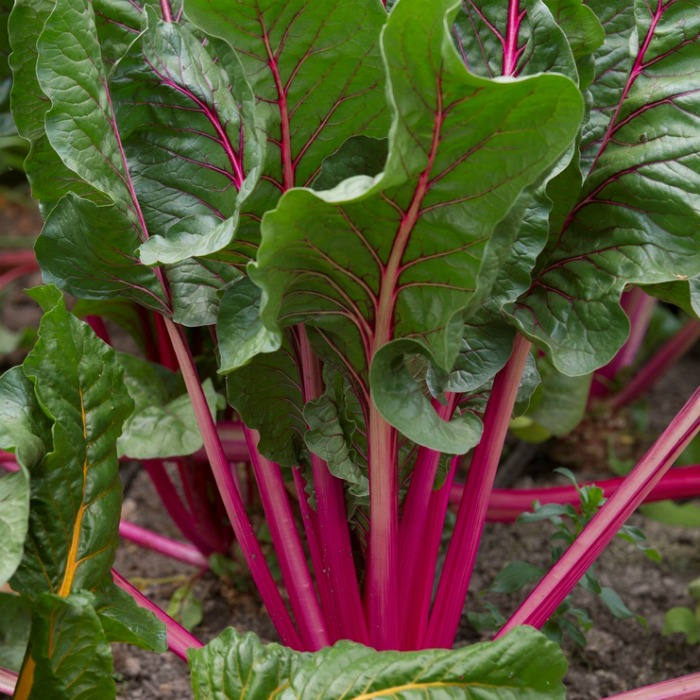 Growing Swiss Chard Cold Hardy Cut And Come Again Vegetable