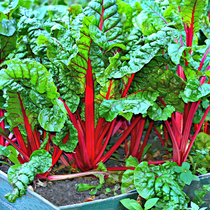 Growing Swiss chard in planters