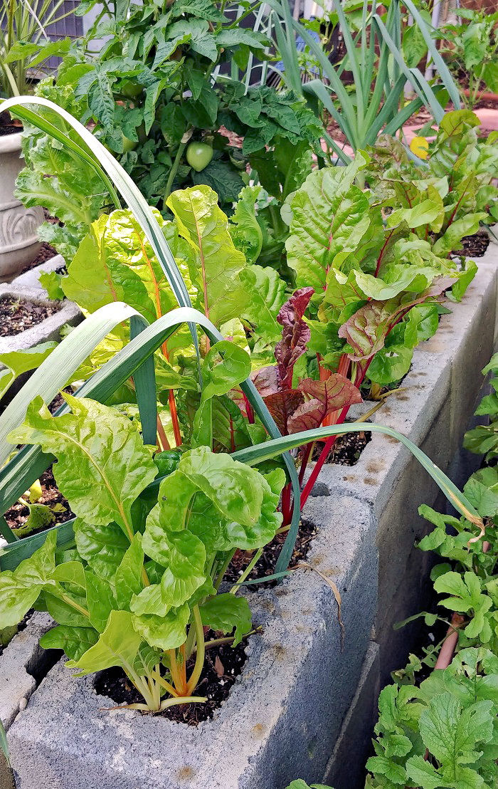 Swiss chard growing in a raised garden bed