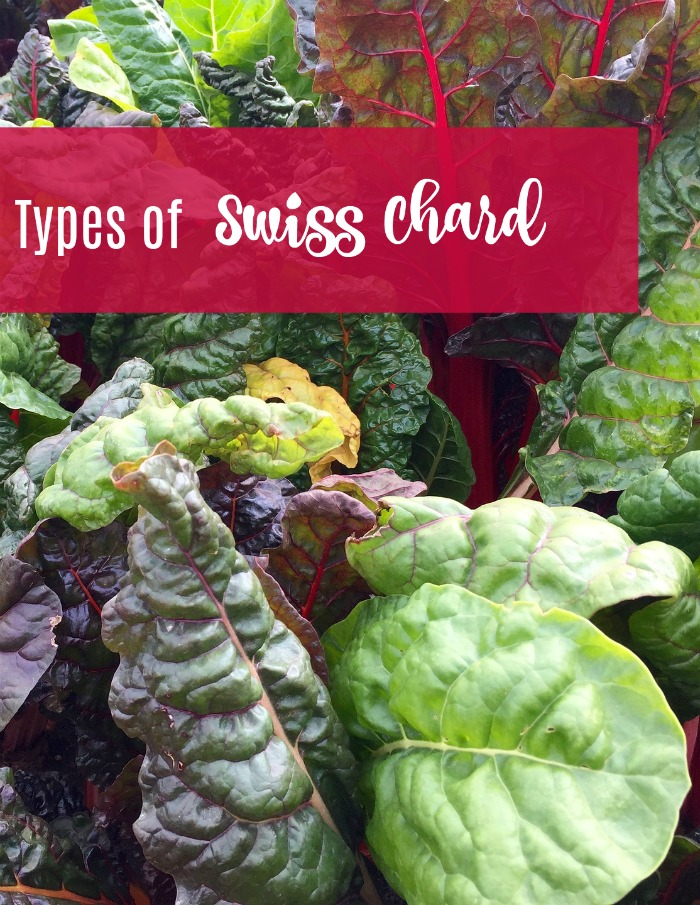 There are many types of Swiss chard