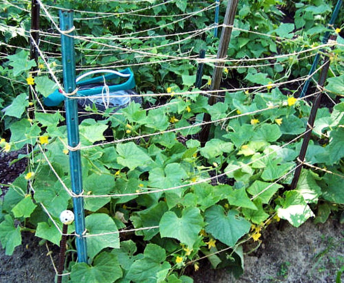 DIY Garden Ideas on a budget - Make your own cucumber trellis for climbing vines