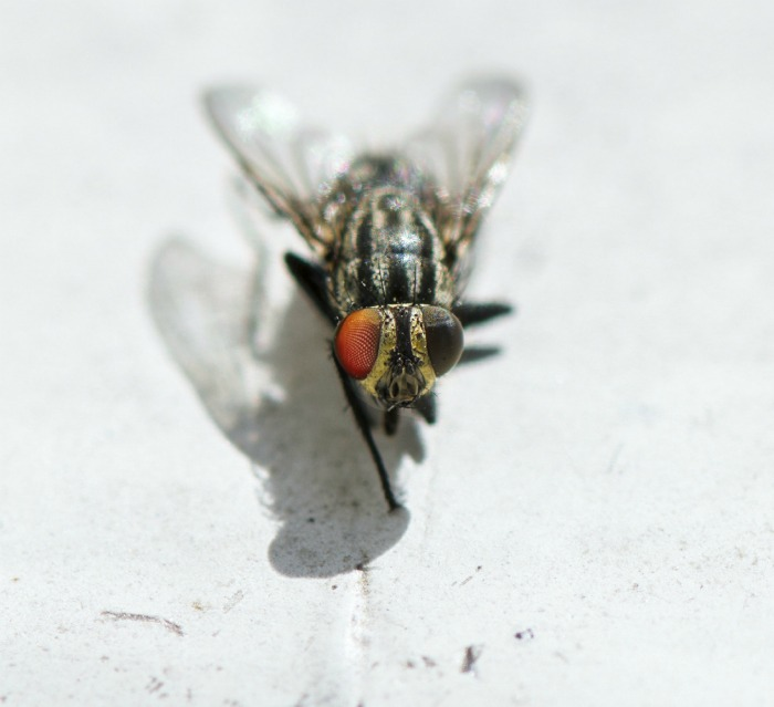 Close up of a fly
