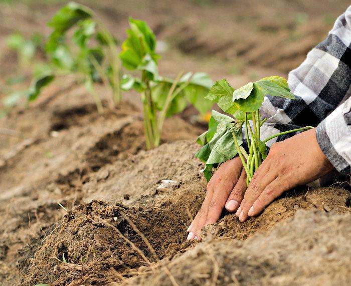 Planting sweet potatoes in soil