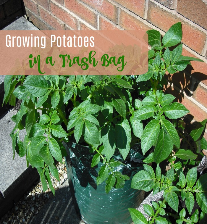 Growing Potatoes in a Trash Bag
