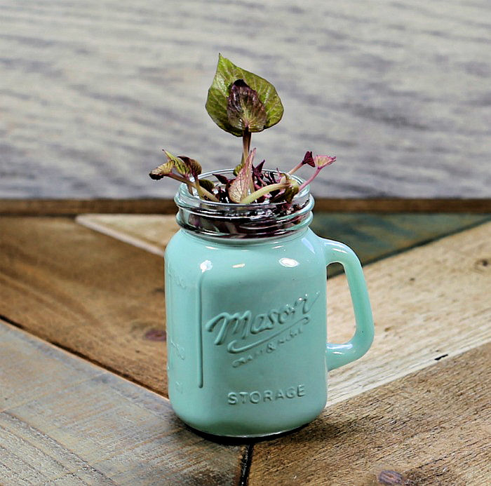 sweet potato slips in a small green Mason jar.