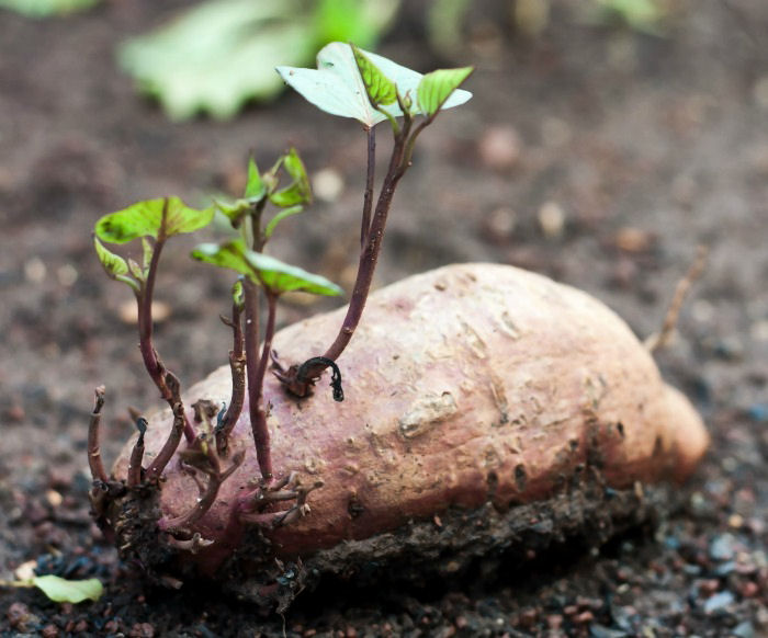 Sweet potato with several vines on it