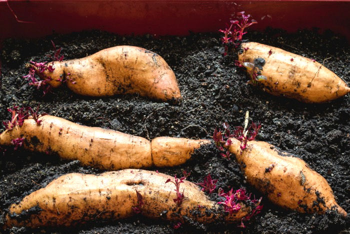 Sweet potatoes in soil with slips growing.