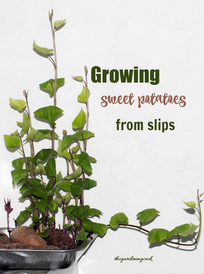 """Sweet potato in a pan that is sprouting with text reading """"Growing sweet potatoes from slips."""""""