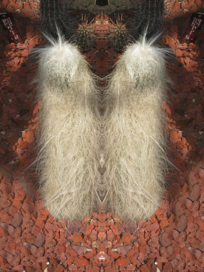 two cephalcereus senilis cacti