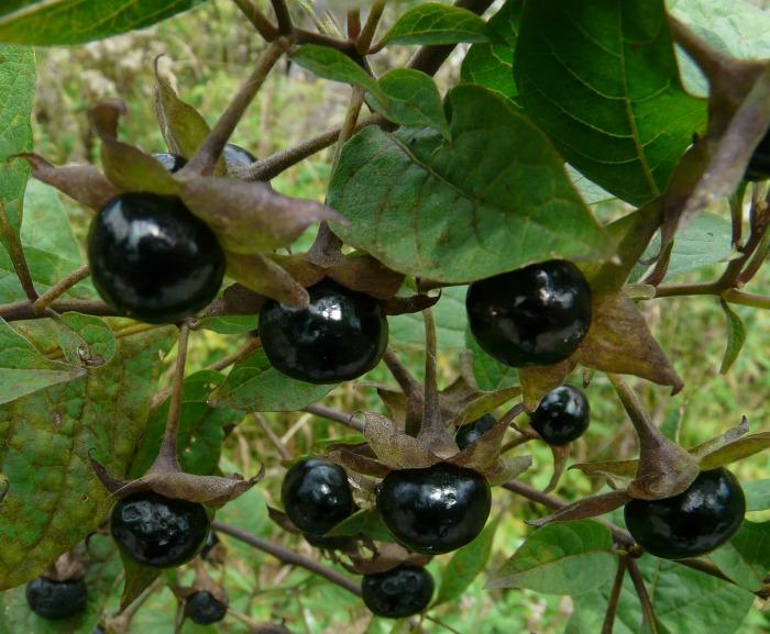 Belladonna berries