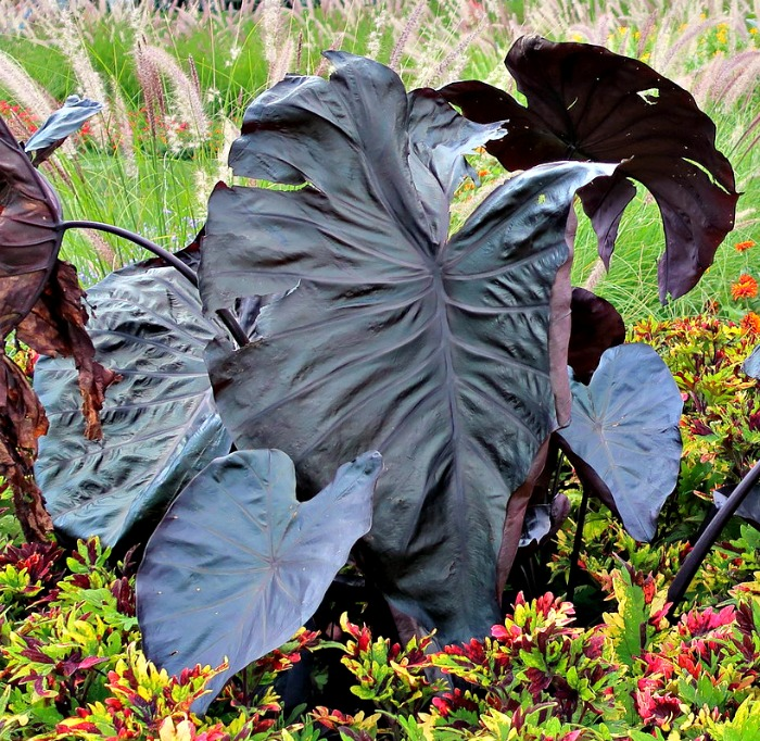 When choosing Halloween plants, pick black plants like Black magic elephant ear
