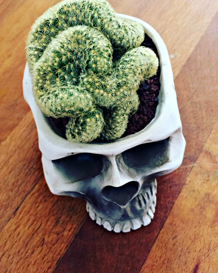 Brain cactus is one of my favorite Halloween plants