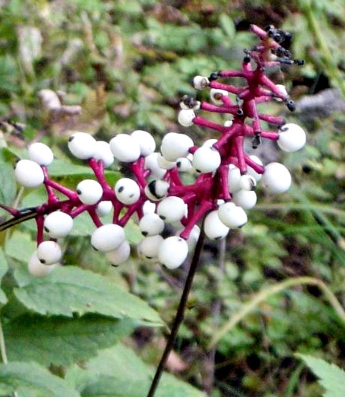 The white eyeball looking berries of Doll's Eye plant makes it one of my favorite Halloween plants